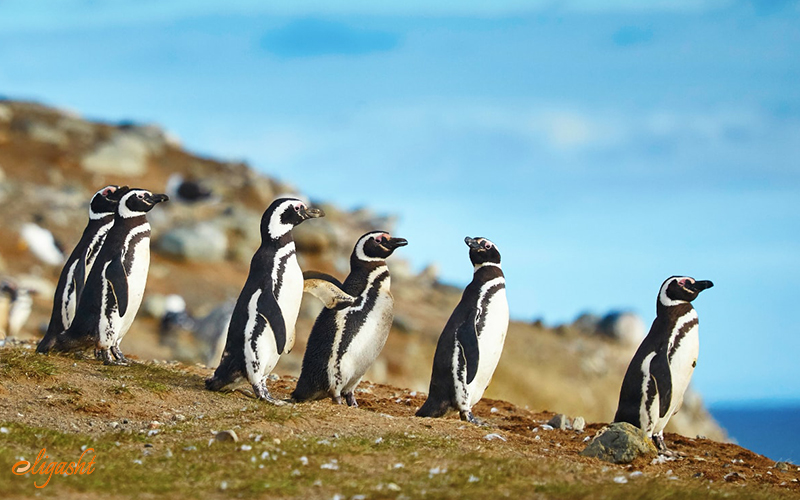 Pinguins in isla magdalena